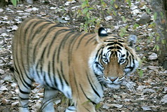 Tiger walking towards us (galactikuh) Tags: india male tiger ranthambore bengaltiger ranthambhore ranthambhorenationalpark royalbengal