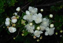 Arrayn en flor (Mono Andes) Tags: white flores flor wildflower 2007 luma myrtaceae arrayn lumaapiculata floranativadechile mirtaceaes mirtaceae chileanmyrtle