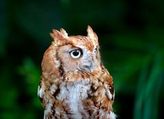Owl   Bho (~ Oscar) Tags: verde green bird animal yellow eyes dof feathers amarillo ojos ave owl bho plumas specanimal canon70200mmf4lisusm