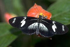 house_20070202_D_14795 (Steven House Photography) Tags: house digital butterfly costarica 2007 dorislongwing heliconiusdoris stevenhouse laparusdoris houselightgallery