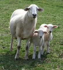 Katahdin ewe with twin ram lambs