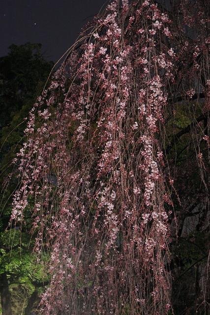 極寒の夜桜