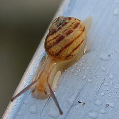 Snail after the rain,  chiocciola dopo la pioggia