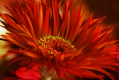Red Ruffled (gina_belgium) Tags: red flower closeup spiky heart gerbera makro gdl mywinners abigfave colorphotoaward flowercolors superbmasterpiece gidela