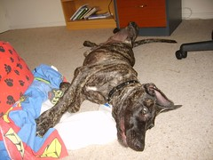 S6005174 (robstephaustralia) Tags: dog cute puppy dante great mastiff dane bullfight toro matador