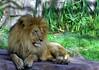 SF Zoo Lion (Cal Bear 94) Tags: sanfrancisco animals zoo lion