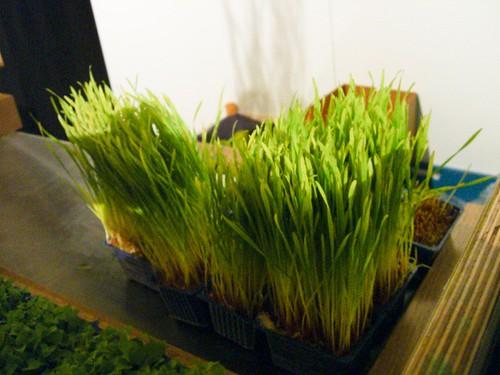 Frisches Weizengras auf der barshow in Holland