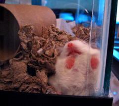 Robo Wall Smush (sciencensorcery) Tags: dwarf sleep roborovski hamsters robo dwarfhamsters