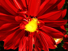 Dahlia (GURITNO) Tags: flowers red nature colors garden nikon p5000 flowercolors coolpixp5000 myneighbourgarden