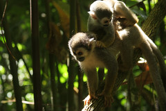 Amazonas_20070404 094 (Gerardo_Alberto) Tags: animal animals rio amazon colombia selva jungle animales leticia animalplanet amazonas amazonia simio tarapoto jungla puertonariño loretoyacu