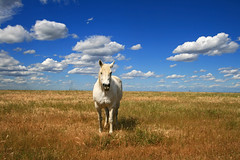 white horse on the prairie (ue06) Tags: california horse northerncalifornia farm meadow prairie agriculture whitehorse yolocounty centralvalley colusa galope yolo interestingness6 dunniganhills abigfave