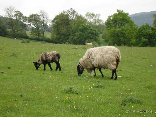 闖進了草原,打擾了羊群的吃飯時候