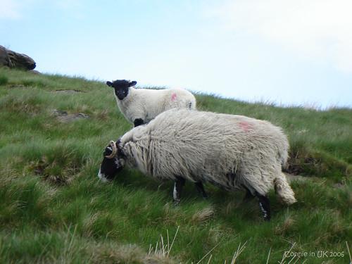 又見羊蹤,連懸崖也難不倒牠們