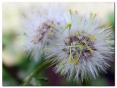 softness (silviaON) Tags: white macro green nature colors yellow canon germany garden spring europe close purple bokeh son dandelion ixus april duisburg 2007 p