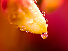 Tears of rain (kktp_) Tags: flowers orchid flower macro nature water d50 droplets nikon bravo searchthebest bokeh quality refraction dendrobium naturesfinest magicdonkey  outstandingshots flickrsbest tamronspaf90mmf28dimacro11 abigfave artlibre superaplus aplusphoto regentrnen