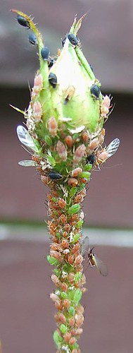 aphids-on-rose-bud