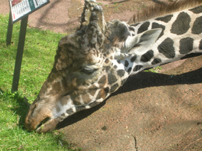 Giant Giraffe Head Only Inches Away