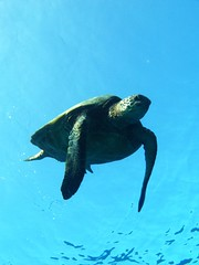decending (shappell) Tags: ocean blue sea green hawaii underwater pacific turtle dive maui hawaiian honu snorkle freedive