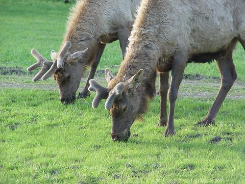 Elk in Elk Grove