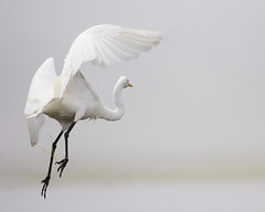 great-egret_MG_5108 - by mikebaird