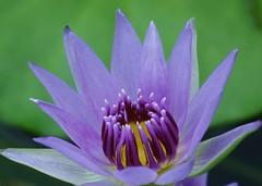 睡蓮の花/lotus