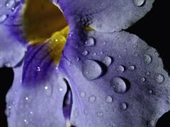 Purple&yellow&silver (wilsonbentos) Tags: blue flower nature retouch blueribbonwinner
