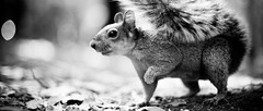Getting ready (Luis Montemayor) Tags: blackandwhite blancoynegro mexico squirrel df bokeh ardilla 235