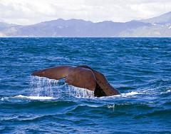 Sperm Whale Diving (f0rbe5) Tags: newzealand offshore 2006 sperm southisland whale aotearoa kaikoura spermwhale oceania toothed toothedwhale 35faves 25faves physetermacrocephalus physeter macrocephalus