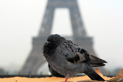 Pigeon de Paris (` Toshio ') Tags: paris france bird pigeon eiffeltower toshio placedutrocadero colorphotoaward superaplus aplusphoto aphotocontest9