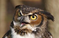 Horned Owl (MrClean1982) Tags: birds interestingness raptors helluva cotcmostfavorited i500 cy2 specanimal animalkingdomelite challengeyouwinner abigfave sonyalphadslra100 supremeanimalphoto impressedbeauty goldenphotographer avianexcellence sonyalphadslr100 mrclean1982