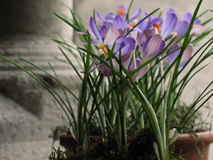 Crocuses at the Cloisters