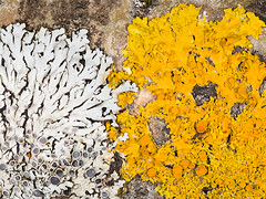 Physcia_Xanthoria 20070202_0068 (GORGEous nature) Tags: yellow washington gray skamaniaco bark wa lichen xanthoriaparietina foliose apothecia blackcottonwood homevalleypark physciaaipolia johndavis