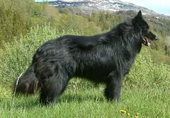 Basse in the mountain (ElinS_70) Tags: shepherd belgian basse groenendael