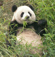 giant panda (Rex Pe) Tags: china animals wildlife chengdu giantpanda sichuan zooanimals pandaresearchcenter