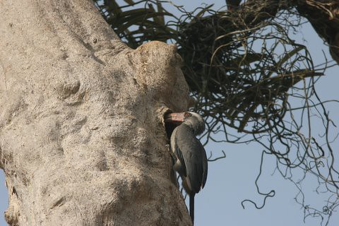 MG Hornbill entering the nest (3)