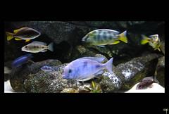NL/Aquarium/Malawi (oopsfotos.nl) Tags: holland netherlands aquarium thenetherlands malawi tropical r1 oop cyrtocaramoorii