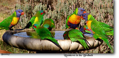 """Rainbows in the BirdBath""......click on link below to SEE and LISTEN to them at play! (bluemist57) Tags: birds birdbath australia lorikeets rainbowlorikeets australianbirds featheryfriday impressedbeauty firsttheearth tbgc31"