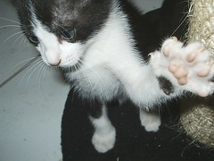 Hey! Look at my paw! (L.Lukatsky) Tags: cats white black color cute colors cat paw kitten paws claws