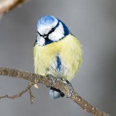 Blue Tit - by Sergey Yeliseev