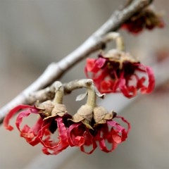 witch hazel ... (jude) Tags: flower macro eye square bravo searchthebest bokeh explore jude judith trophy labyrinth soe squared 2007 witchhazel excellence naturesfinest meskill judithmeskill blueribbonwinner outstandingshots specnature mywinners abigfave flickrgold 30faves30comments300views anawesomeshot impressedbeauty 50faves50comments500views superbmasterpiece goldenphotographer judeonflickr