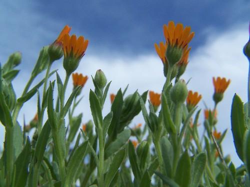 20070308 Little Orange Wildflowers