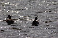 Tring Ducks (rajthesnapper) Tags: ducks tring grandunioncanal