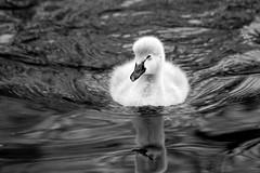 Black Swan Cygnet (bw) (Keith Marshall) Tags: uk england blackandwhite bw lake london water canon eos swan cygnet stjamespark blackswan jesters 70300is 400d canon400d impressedbeauty