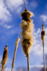 cat tails (~ Dave McCaskill ~) Tags: blue closeup catchycolors indianapolis indiana cattails closeups piratetreasure canonefs1855mmf3556 piratetreasure2 thegistofit piratetreasure3 captainschest1
