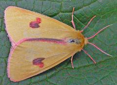 2059-DSCN1230 Clouded Buff (Diacrisia sannio) (ajmatthehiddenhouse) Tags: moth arctiidae sannio diacrisia diacrisiasannio cloudedbuff