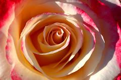 RoseisaRose