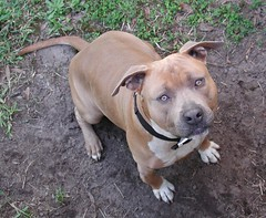 American Pit Bull Terrier (Scott Kinmartin) Tags: pitbullterrier