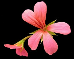 Enchanting Pink (BikBik) Tags: pink flower bravo trophy soe excellence onblack aclass enchanting naturesfinest blueribbonwinner supershot creativephoto flowerotica outstandingshots specnature fineartphotos mywinners abigfave flowersonblack anawesomeshot colorphotoaward flickrplatinum selectedcolors irresistiblebeauty superbmasterpiece beyondexcellence beautyineyeofbeholder crystalaward goldenphotographer diamondclassphotographer flickrdiamond empyreanflowers thebestnothingelse excellentphotographerawards bikbik brillianteyejewel defendersmacroandcloseup fotomania goldstaraward minimalflowers worldofflowers beautyselection 4mazingorgeoushotsoflowers obq