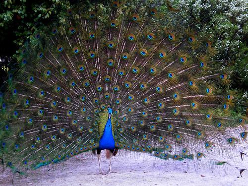 pavão   peacock