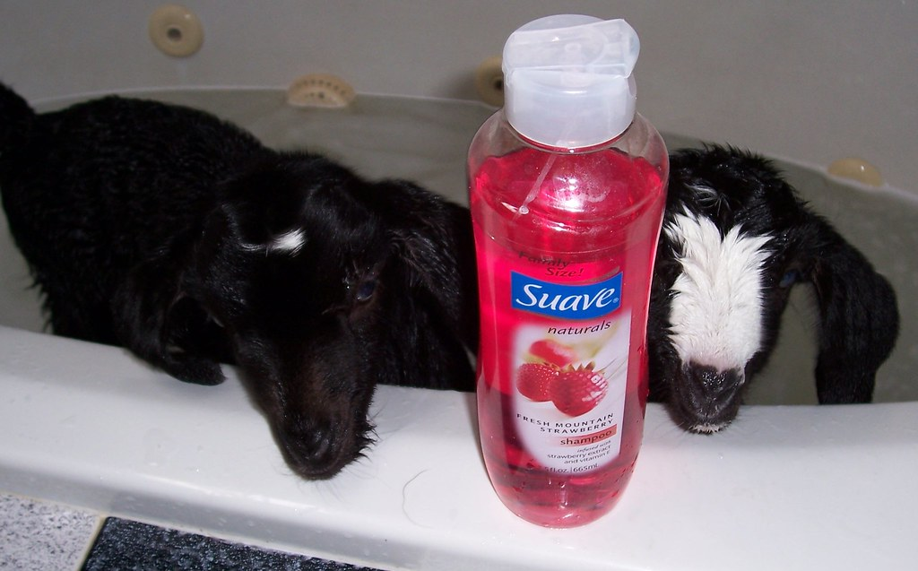 What would we do without Suave Strawberry Shampoo...for bathing special friends ??
